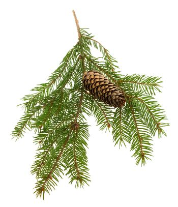 close-up fir branch with cone, isolated on white