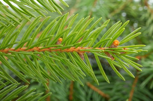 fir tree branch, macro shot