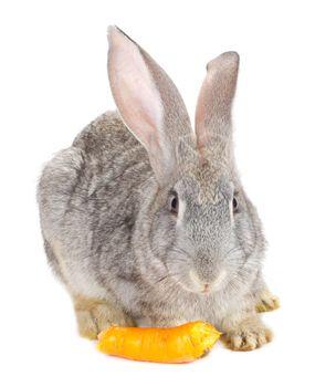 gray rabbit eating carrot, isolated on white