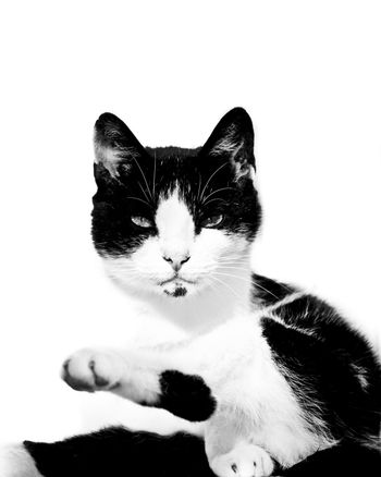 staring cat isolated on white