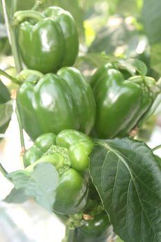 Green peppers growing in a garden