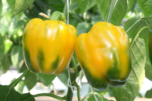 Yellow and green peppers growing in a garden