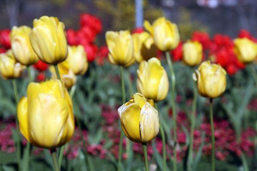 beautiful tulips, beautiful flowers, nature photo