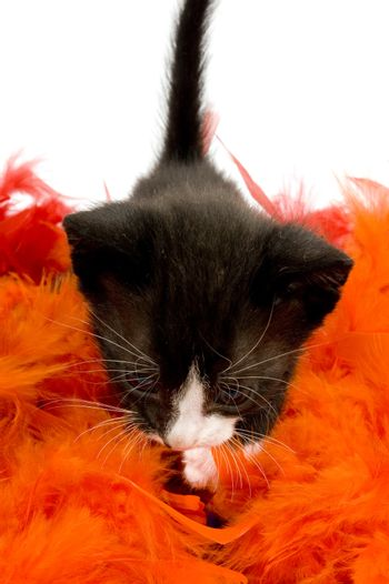curious two weeks old black kitten on orange feather