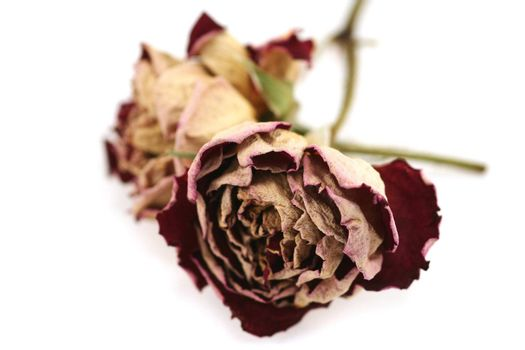 Two dried/preserved red roses on a white background - last years love perhaps?