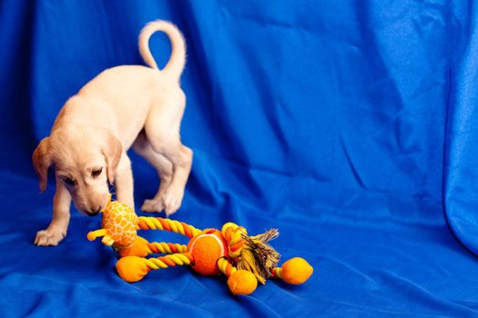 A white saluki pup plays with orange toy on blue background