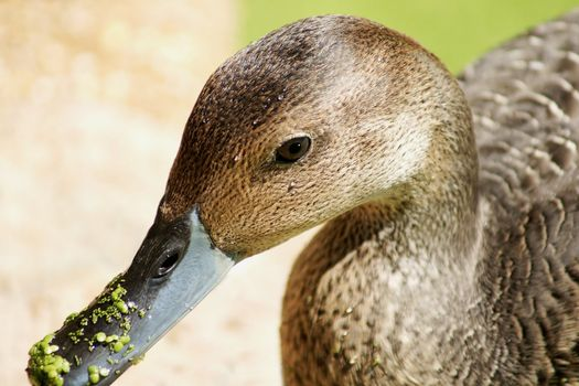 Close-up of duck with duckweeds on its beak