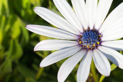 White Daisy blue stamen macro