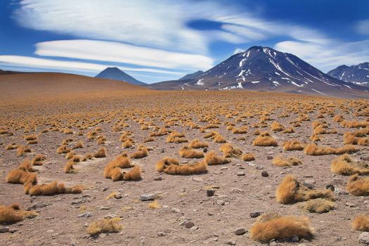 altiplano grass paja brava close to volcano Miscanti, desert Atacama, Chile
