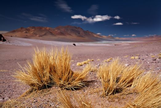 altiplano grass Paja brava close to Salar Aguas Calientes and Cerro Losloyo, desert Atacama, Chile