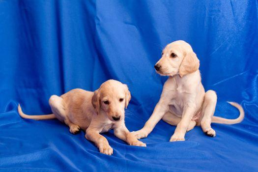 Two white saluki pups on blue background
