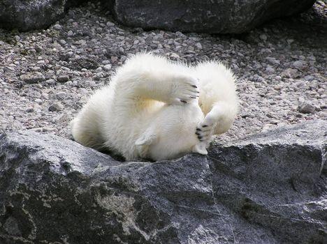 Polar bear with a headache