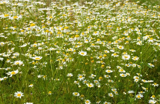 field of wild chamomiles