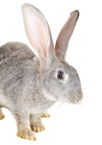 close-up gray rabbit, isolated on white