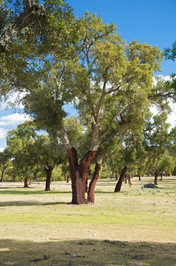 trunk of cork trees