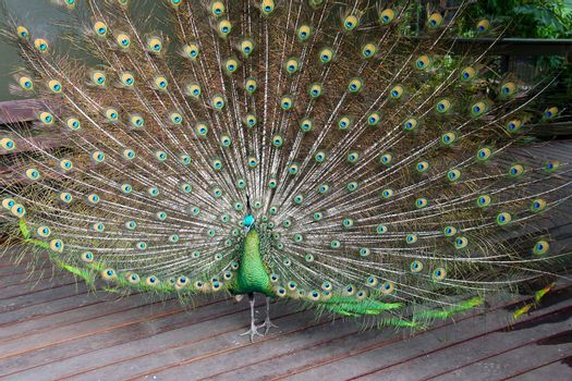 Male Green Peafowl (Peacock) - Pavo muticus - from Southeast Asia