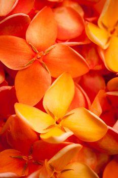 Macro of beautiful vibrant Ixora flowers