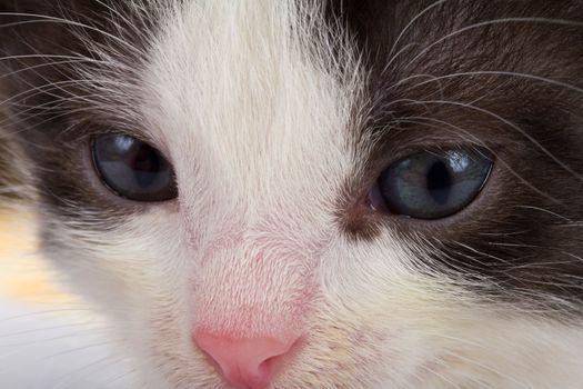close-up black-white kitten's muzzle