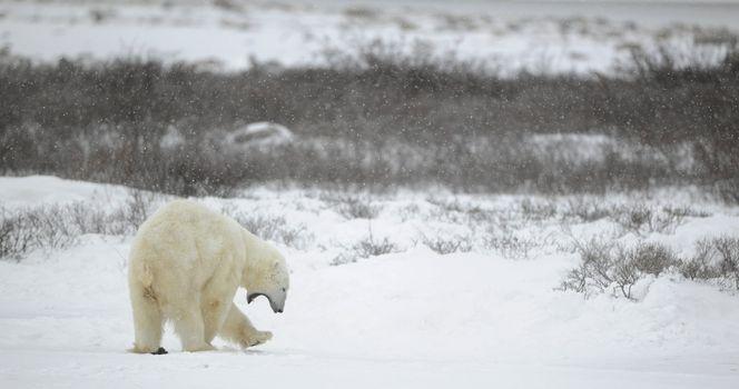 The polar bear yawns.