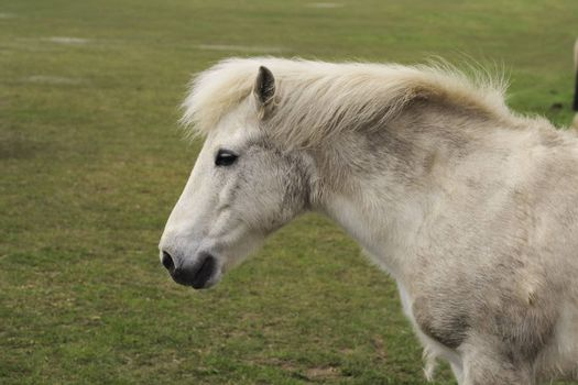 white pony in a field  showing head and shoulders