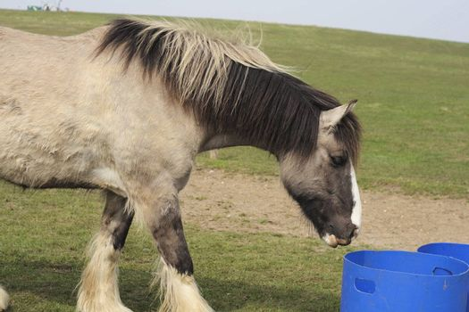 large horse about to feed from a food bucket