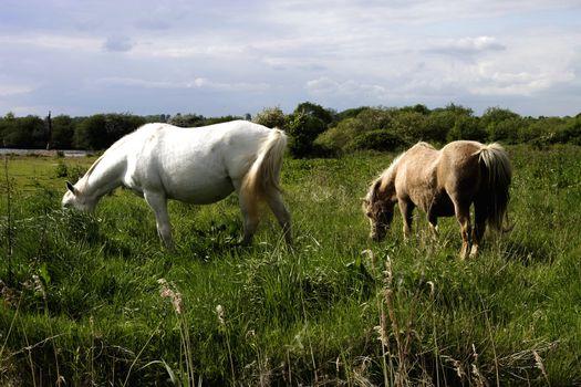 ponies on the fells