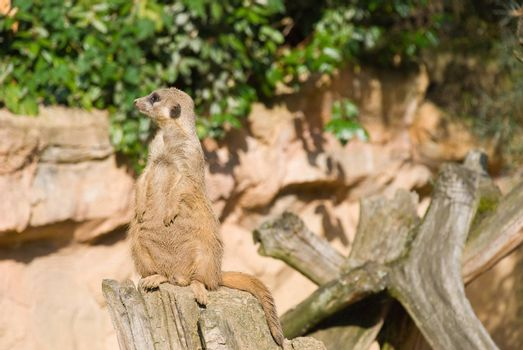 Meerkat sits and looking to the left
