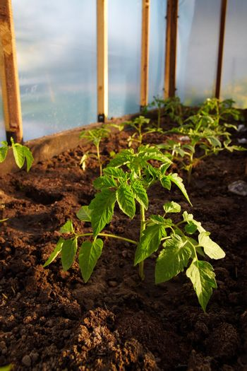 Young tomatoe plant in hothouse