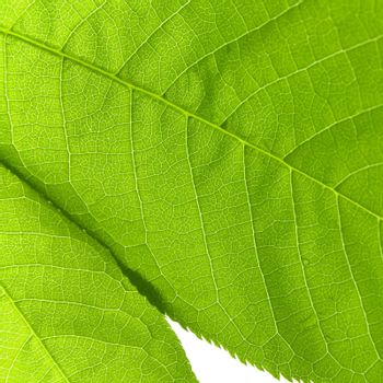 structure of a green leaf