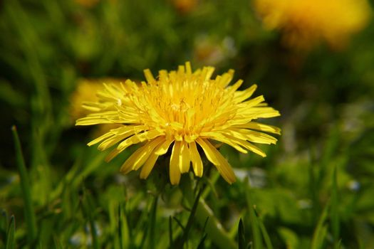 One yellow dandelion in a green grass close up