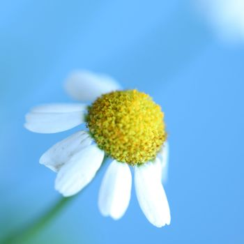 chamomiles on blue macro close up