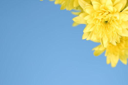 yellow chrysanthemum macro close up
