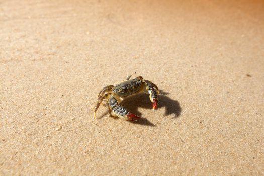 crab on sand near the ocean