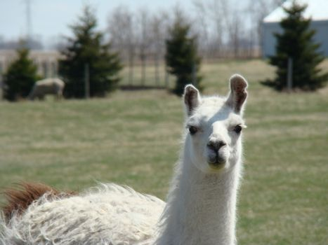 this llama is busy posing for the camera