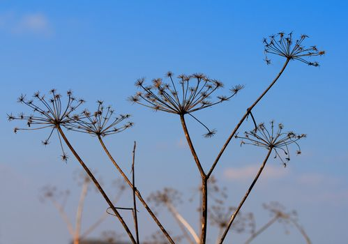 dry angelica plant on blue sky