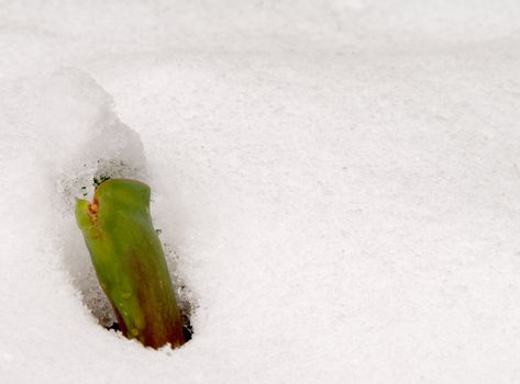 A young tulip sprout poking through the snow.