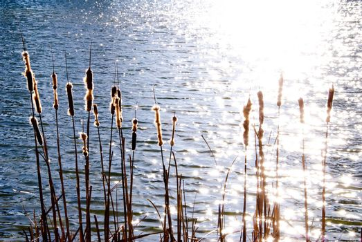 An assortment of Cattails in a wet marxh area.