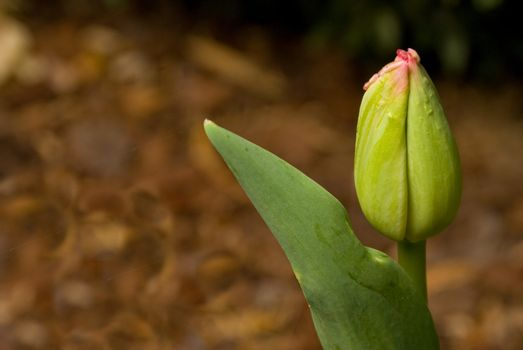 A young tulip sprout about to blossum.