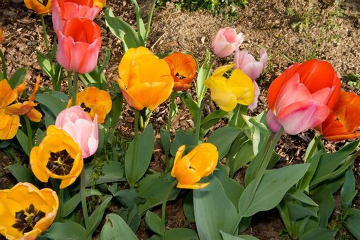 Young tulip blossoms blooming in the spring