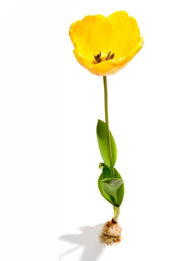 A young tulip blossom blooming in the spring