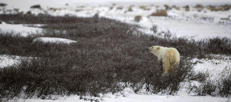 The polar bear sniffs