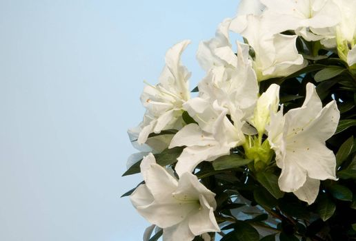 A white Azalea bush in a basket.