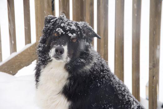 A purebred border collie in the snow.