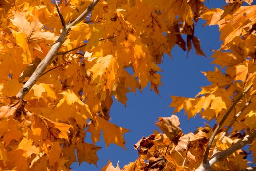 An oak tree's leaves as they change color in autumn.