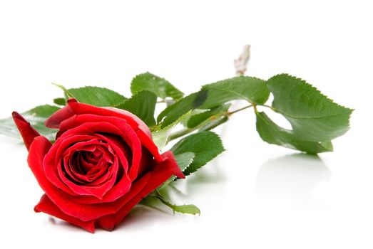 A beautiful red rose for a loved one.