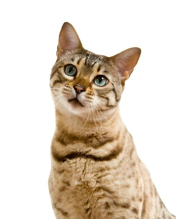 Bengal cat looking with pleading stare