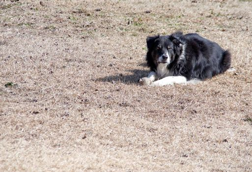 A border collie enjoying a sunny afternoon.