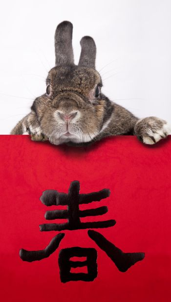 Rabbit celebrating 2011 chinese new year with chinese couplets