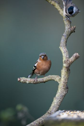 Chaffinch and Willow Tit