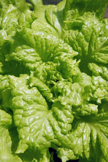 Close up green lettuce leaves background